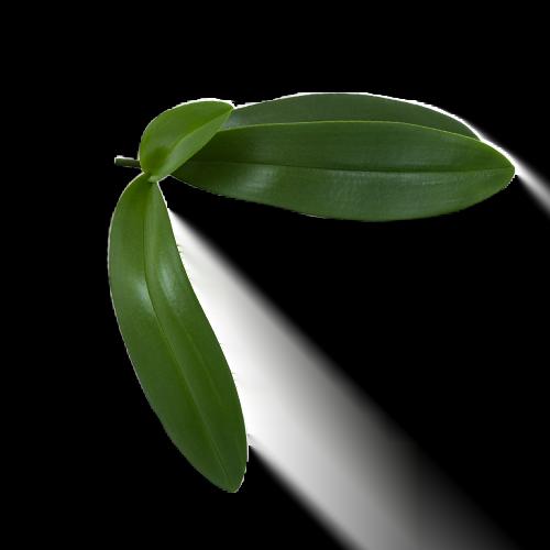 vanilla-leaf